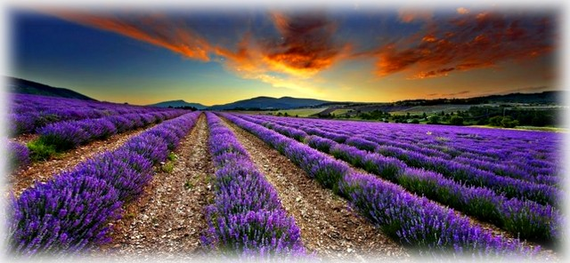 Dawn in a lavender field nr Sault, the Vaucluse, Provence, France